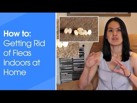 How to get rid of fleas indoors