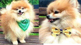 DIY DOG | Шейные аксессуары | Одежда для собаки своими руками(Всем привет)В этом видео я покажу Вам как сделать шейные аксессуары для наших четвероногих друзей.Мы сделае..., 2016-07-01T06:30:01.000Z)