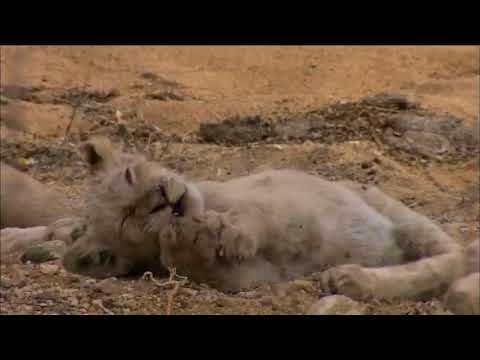 Nature Documentary HD - White Lions