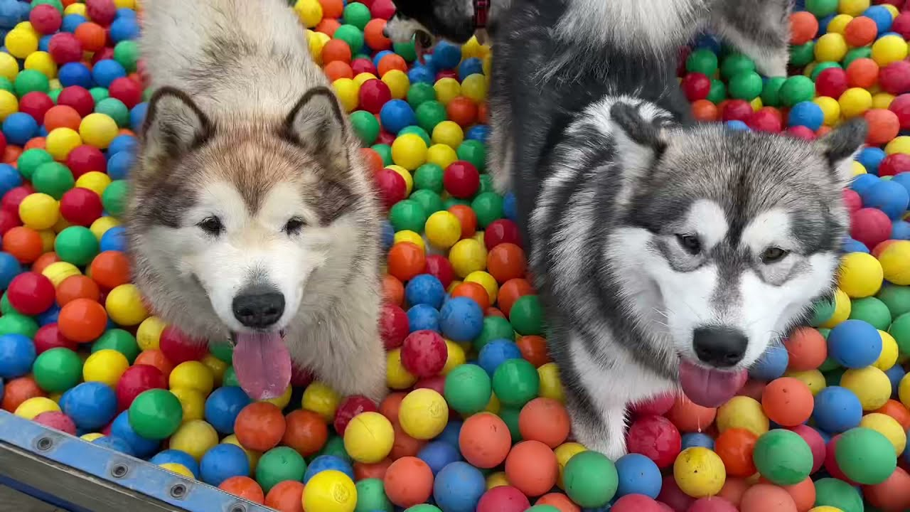 30,000 Ball Pit And A Dog BOUNCY CASTLE!!!! Alaskan Malamute Heaven