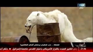 المصرى أفندى| لقطة .. دب قطبي يحتضر أمام الكاميرا