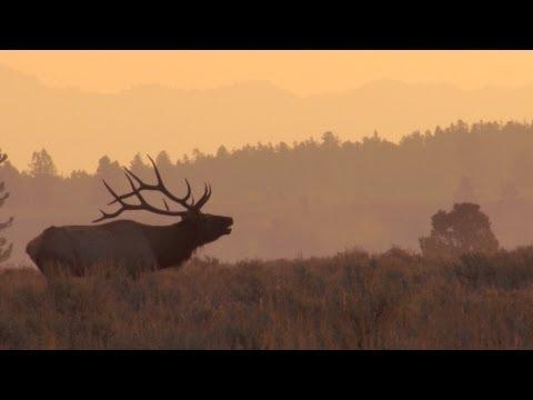 Awesome Bull Elk bugles at sunrise
