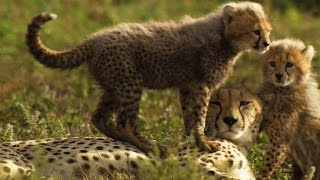 Cheetah Mother Reunited with Her Lost Cubs
