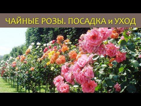Чайная роза. Посадка и уход