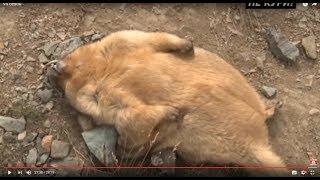 Охота на сурка в Алтае видео