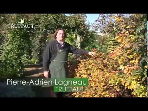 Les fruits du rosier jardineries truffaut tv youtube - Comment multiplier un rosier ...