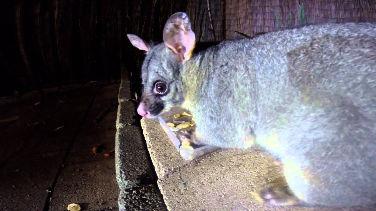 fatty the wild brushtail possum in backyard take 2 youtube