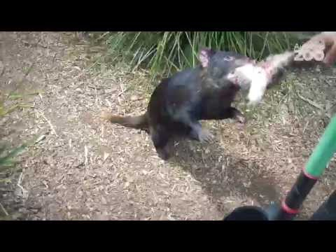 Thumbnail: Zoo Tales - Love our little (Tasmanian) devils