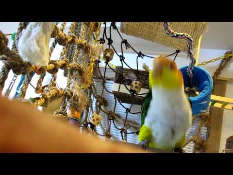 Chickie Caique Rocking out!