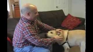 Labrador Retriever Reunion With Owner After Hip Replacement Surgery 4 Months