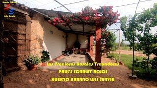 Los Preciosos Rosales Trepadores PAUL'S SCARLET Rojos Plena Floracion - Huerto Urbano Luis Servia