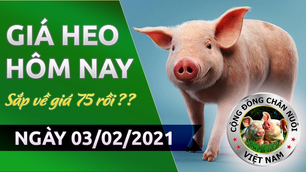 Giá heo hôm nay 3/2/2021 | Giá lợn hơi hôm nay vẫn chưa ngừng giảm, liệu giá heo có xuống mốc 70?