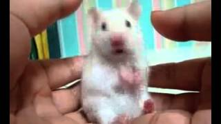 Hamster pupst