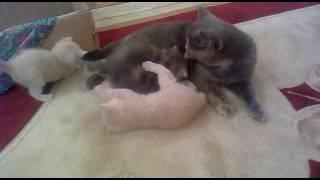 Мама кошка ухаживает за котятами