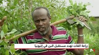 زراعة القات تهدد مستقبل البن في إثيوبيا