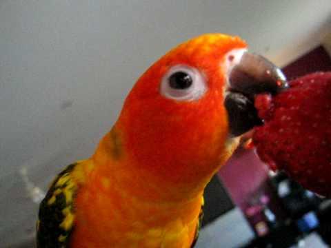 The Pet Directory Australia - Bird Conure - Sun (Aratinga