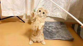 猫じゃらし愛が強すぎて独り占めする短足猫w