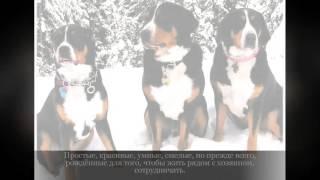 Швейцарский зенненхунд Средние породы собак