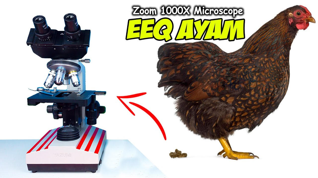 INILAH KOTORAN AYAM DI MIKROSKOP   Chicken Poop Microscope Zoom 1000X