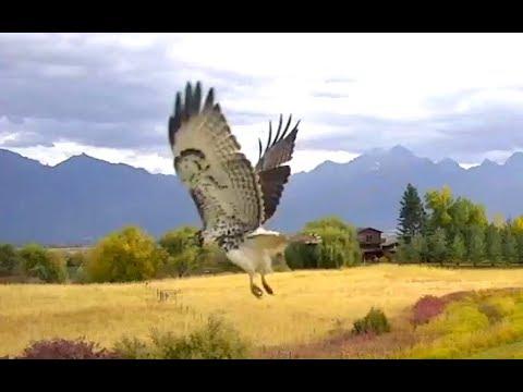 Slo - Mo Hawk  arrivals. Charlo Osprey nest. 01 October 2018