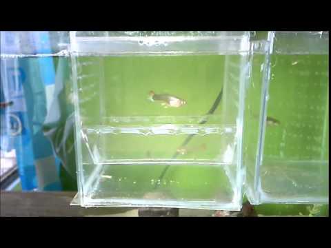 Paridera casera para peces con cajas de cd f cil for Peces para criadero