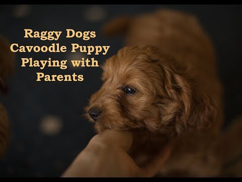 Cavoodle Puppy Available Sydney - Boy 2 Red | Raggy Dogs