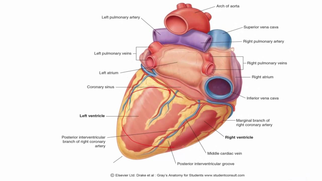 Anatomy 1 C1 L8 Surfaces Of The Heart Youtube