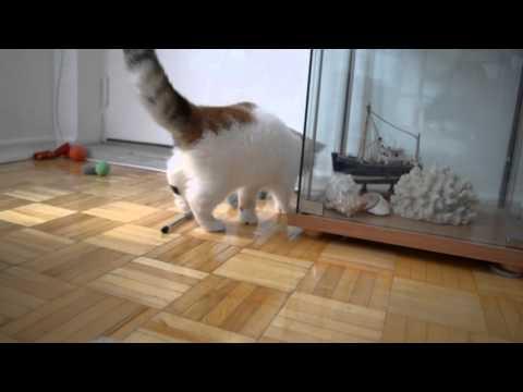 Anne exotic shorthair kitten 4 months