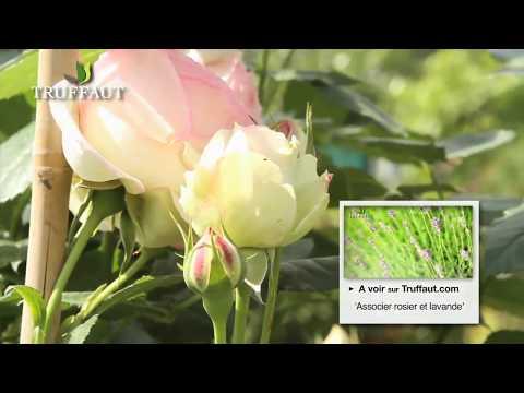 comment entretenir un rosier jardinerie truffaut tv youtube. Black Bedroom Furniture Sets. Home Design Ideas