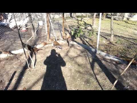 Вопрос: Какая птица лучше для разведения перепела, цесарки,фазаны?
