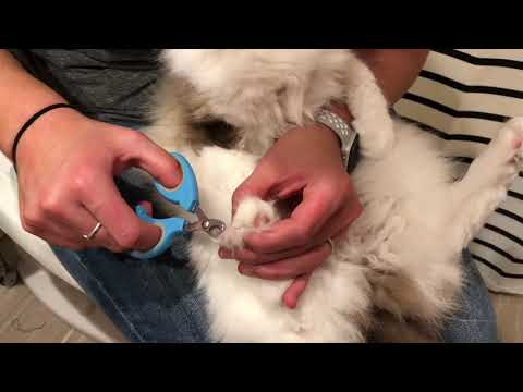 Trimming Cat Claws - How Do I Cut My  Cat's Nails? - Floppycats