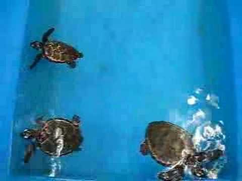 黒島研究所のウミガメ(小)