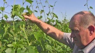 Выращивание саженцев винограда. Главный секрет(Вырастить качественный саженец винограда из черенка дело далеко не простое. Многие, а особенно начинающие..., 2014-08-19T18:25:26.000Z)