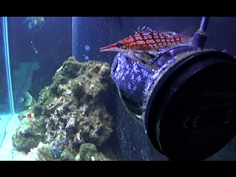 90 Gallon Reef: Little Friends ( Longnose Hawkfish, Coris Wrasse, Blenny, Angelfish, Sailfin Tang )