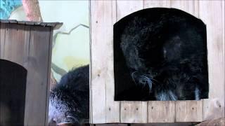 Бинтуронг (кошачий медведь ) с новой невестой. 15.12.18 г.