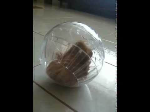 Do not put a guinea pig a in a hamster ball bad idea youtube do not put a guinea pig a in a hamster ball bad idea sciox Image collections