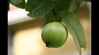 Effects of 500g to 1kg Guava per day on health