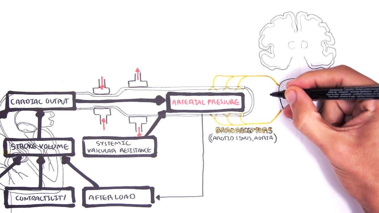 cardiac output mean arterial pressure relationship and brainstem center response [ 1280 x 720 Pixel ]