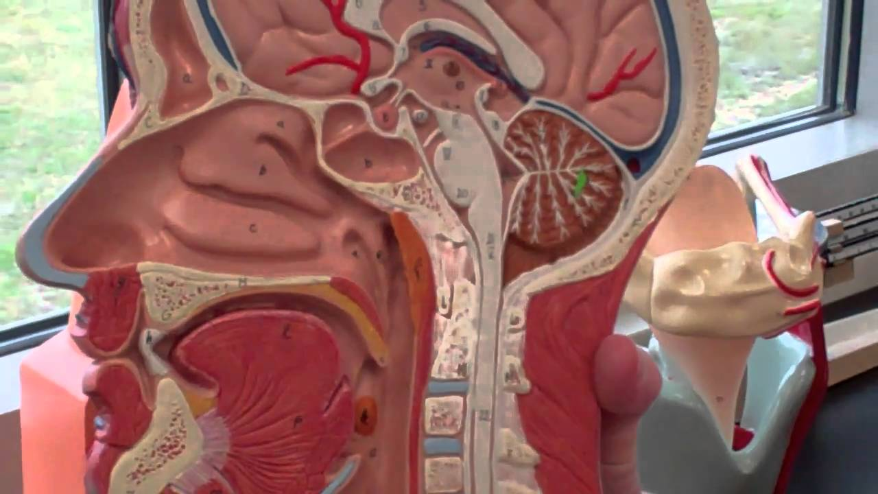 A&P 2 Respiratory System walk through with anatomy models - YouTube