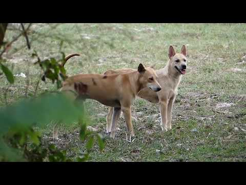 lural Dog Belgian Tervuren Meeting Berger Picard Near Dog Village !Life Dog #08
