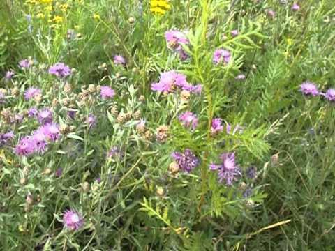 Василёк лугово́й (лат. Centaurea jacea) - медоносы Рязанской области