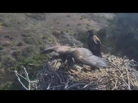 Sauces Bald Eagles 2nd Eaglet Has Fledged...