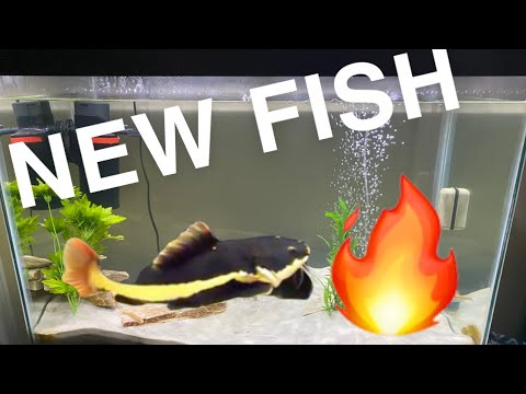 Getting A REDTAIL CATFISH!!