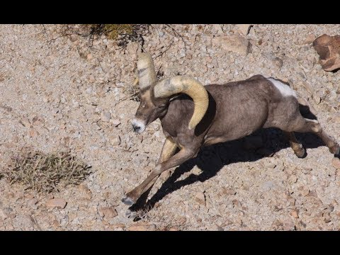 Desert Bighorn Sheep Survey 2019