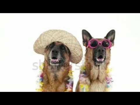 Pets, Animals And Behavior, Two Funny Pedigreed German Shepherd Dogs With Hat And Sunglass