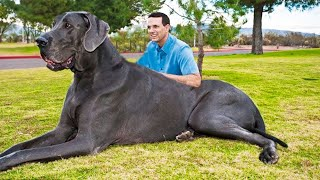THE BIGGEST DOGS In The World