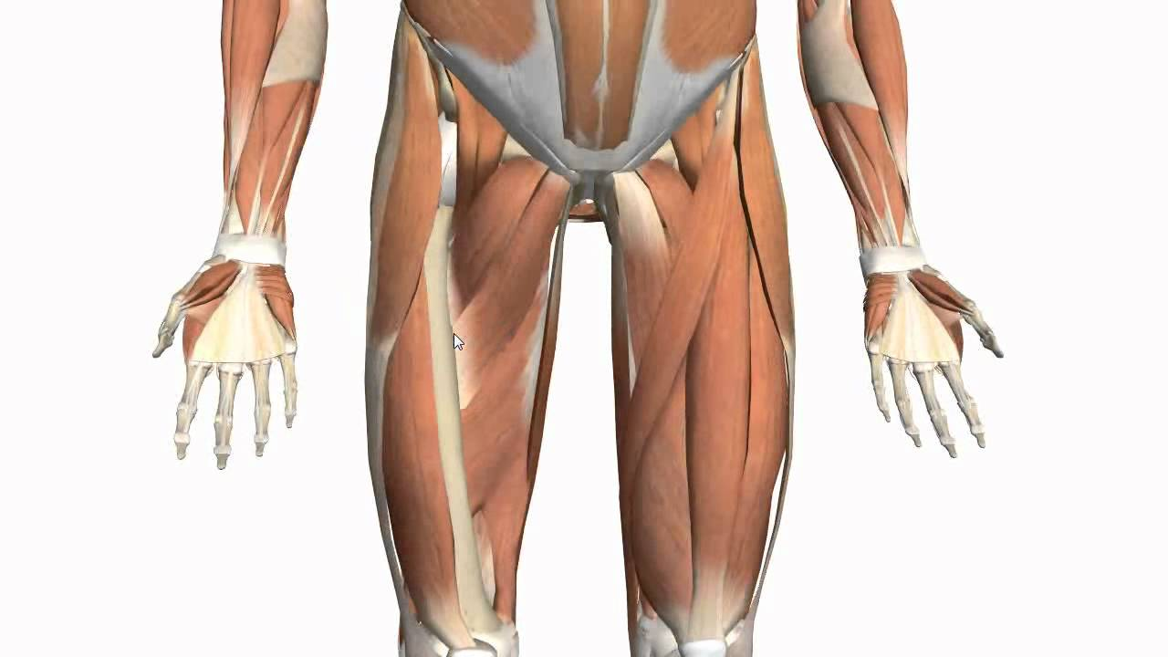 Muscles Of The Thigh And Gluteal Region