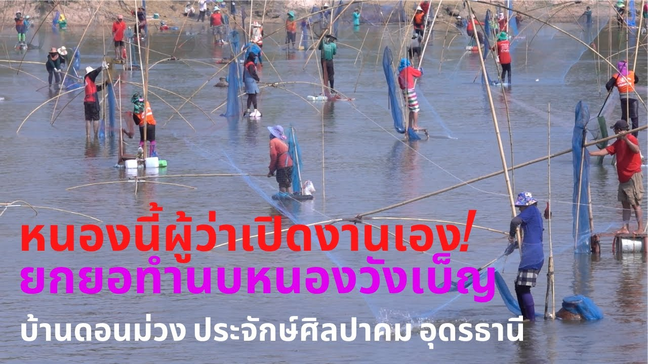 หนองนี้ผู้ว่าถึงกับมาเปิดงานเอง ยกยอทำนบปลาห้วยวังเบ็ญบ้านดอนม่วง Catch fish with startles and nets.