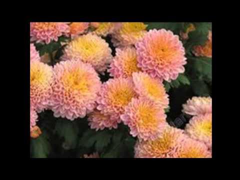 Хризантемы слайд-шоу из фото