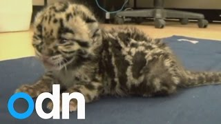 CUTE VIDEO: Baby leopard runs free for first time(Subscribe here: http://bit.ly/ODNsubs Meet Mowgli - the cute 6 week-old clouded leopard who's winning over hearts at Tampa's Lowry Zoo in Florida. Report by ..., 2015-04-21T19:33:17.000Z)